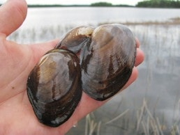 Three First Nations are studying freshwater mussels in the Basin.