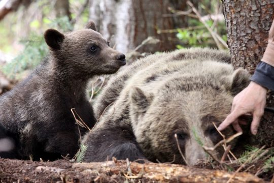 Reconnecting and Protecting Grizzlies