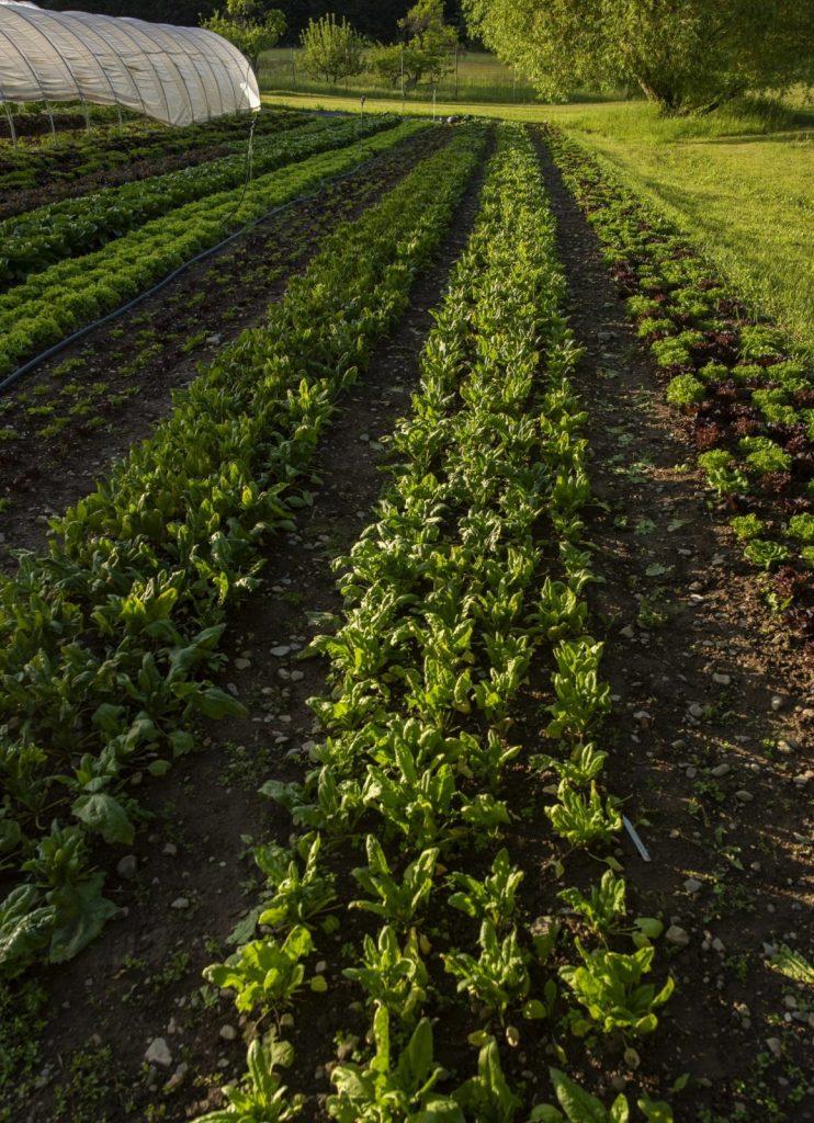 row of produce growing at cartwheel farms