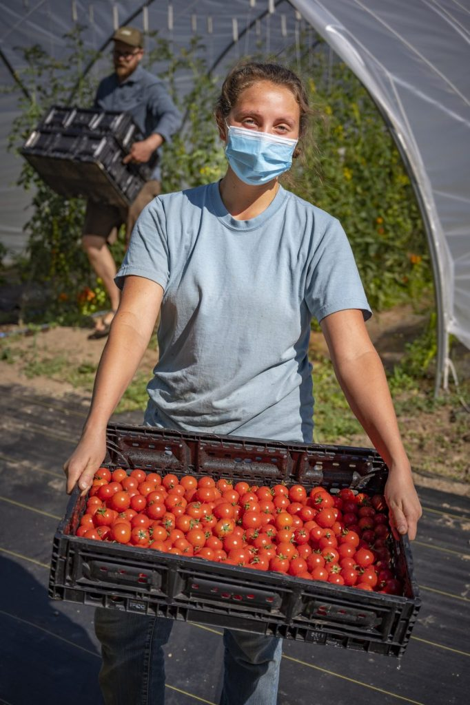 person in mask working at cartwheel farms carrying tomatoes